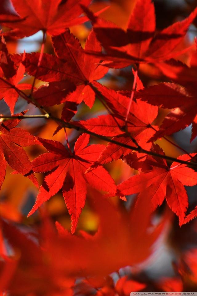 Fall Leaves Iphone 5 Wallpaper Red Japanese Maple Leaves 4k Hd Desktop Wallpaper For 4k