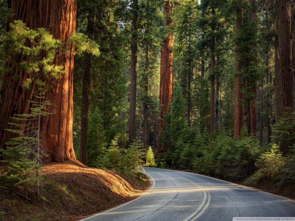 Fall Coastal Desktop Wallpaper Road In Pine Forest 4k Hd Desktop Wallpaper For 4k Ultra