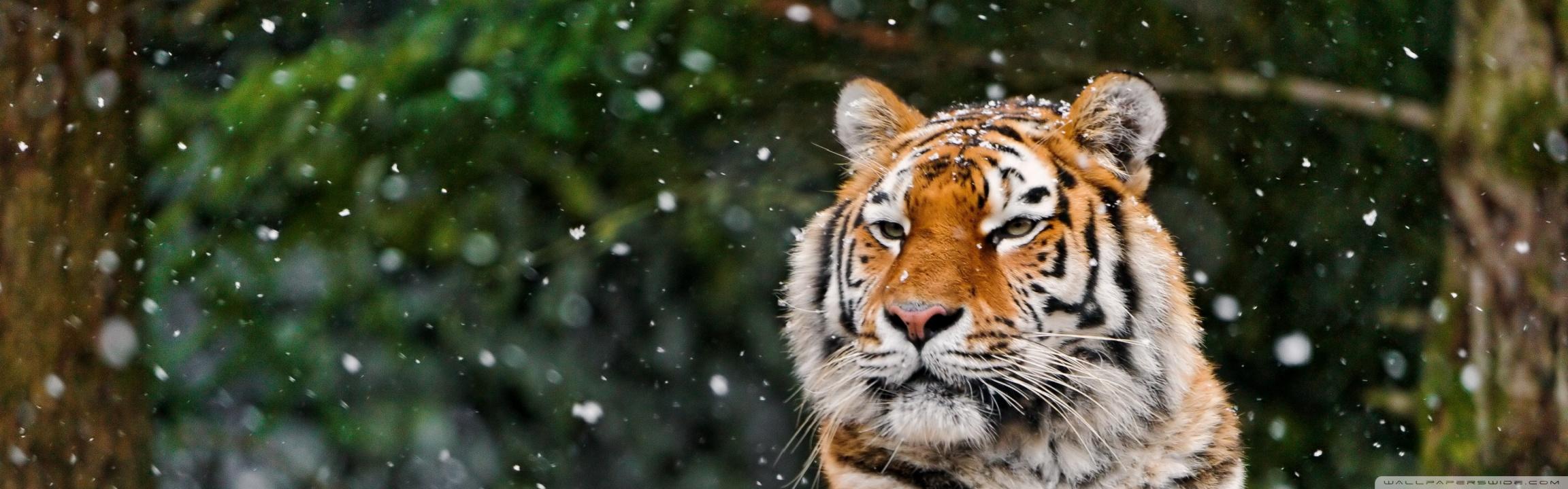 Jaguar Animal Wallpaper Siberian Tigress 4k Hd Desktop Wallpaper For 4k Ultra Hd