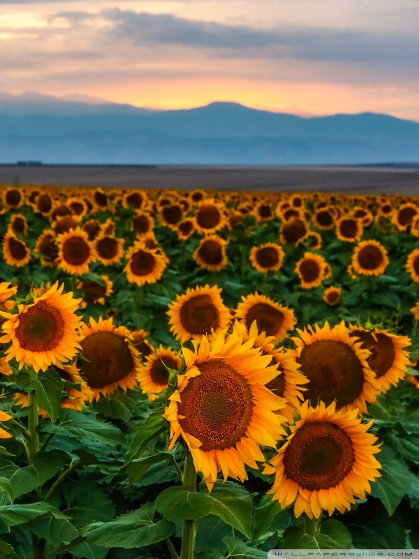 sunflower field sunset colorado wallpapers