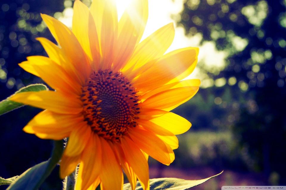 Fall Themed Computer Wallpaper Sunflower Sunshine 4k Hd Desktop Wallpaper For 4k Ultra Hd