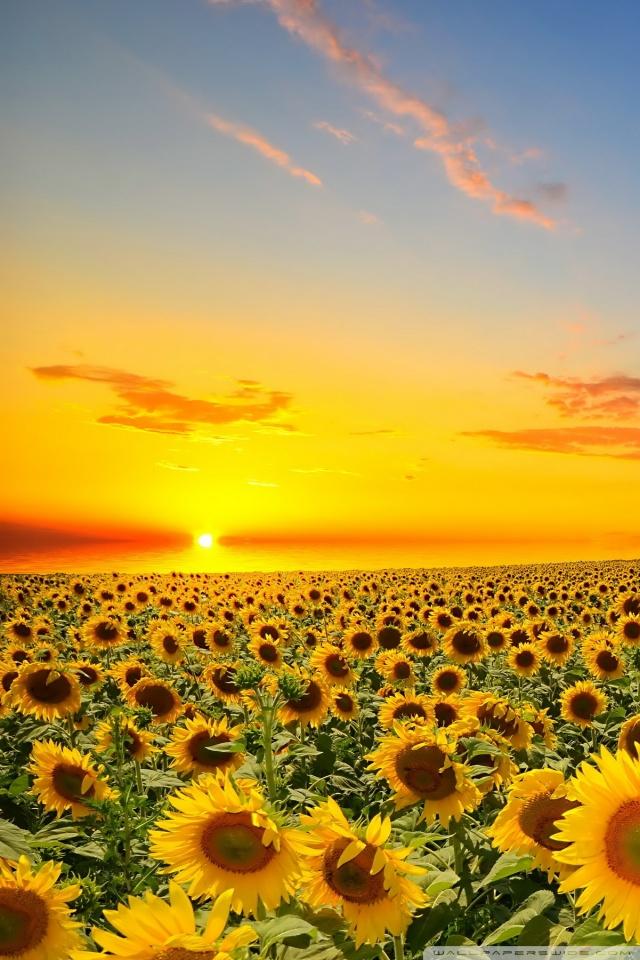 Iphone 5 Wallpaper Floral Sunset Over Sunflowers Field 4k Hd Desktop Wallpaper For