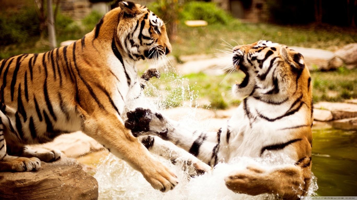 tiger fight ❤ uhd desktop wallpaper for ultra hd 4k 8k • mobile