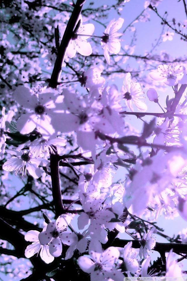 Falling Cherry Blossom Wallpaper Hd White Cherry Blossoms 4k Hd Desktop Wallpaper For 4k Ultra