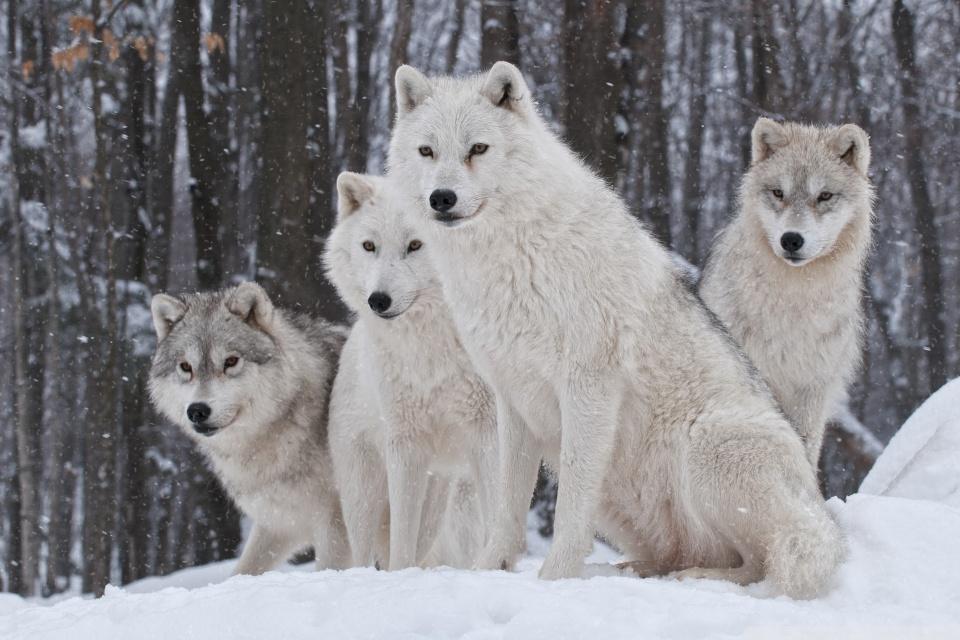 Falling Snow Wallpaper For Ipad White Wolves Pack Ultra Hd Desktop Background Wallpaper