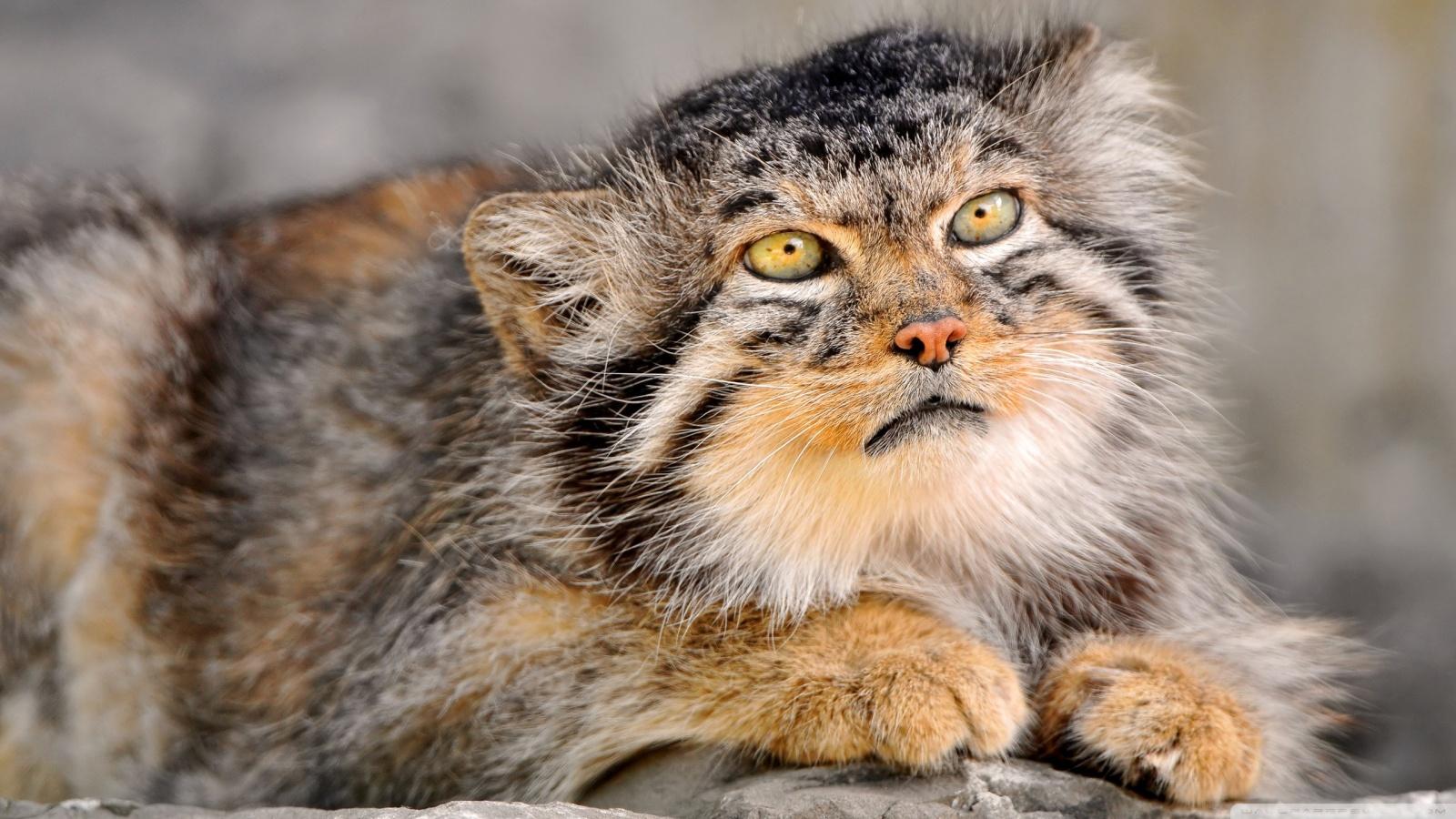 Wild Cat 4K HD Desktop Wallpaper for 4K Ultra HD TV