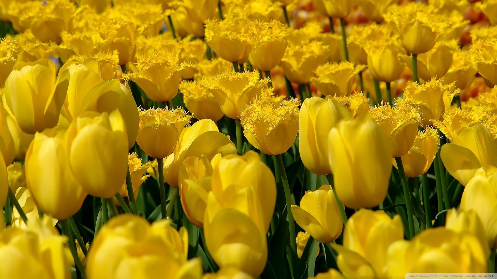 Fall Sunflower Desktop Wallpaper Yellow Tulips 4k Hd Desktop Wallpaper For 4k Ultra Hd Tv