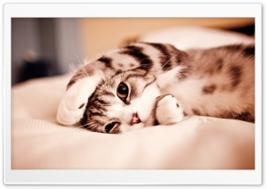Funny Lazy Cat
