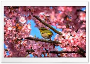 Japanese White Eye Hiding In Sakura