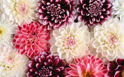 pretty floral backgrounds background pink dahlia wallpapertag