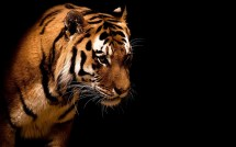 Tiger Wallpaper And Background 1505x1120 Id - Year of Clean