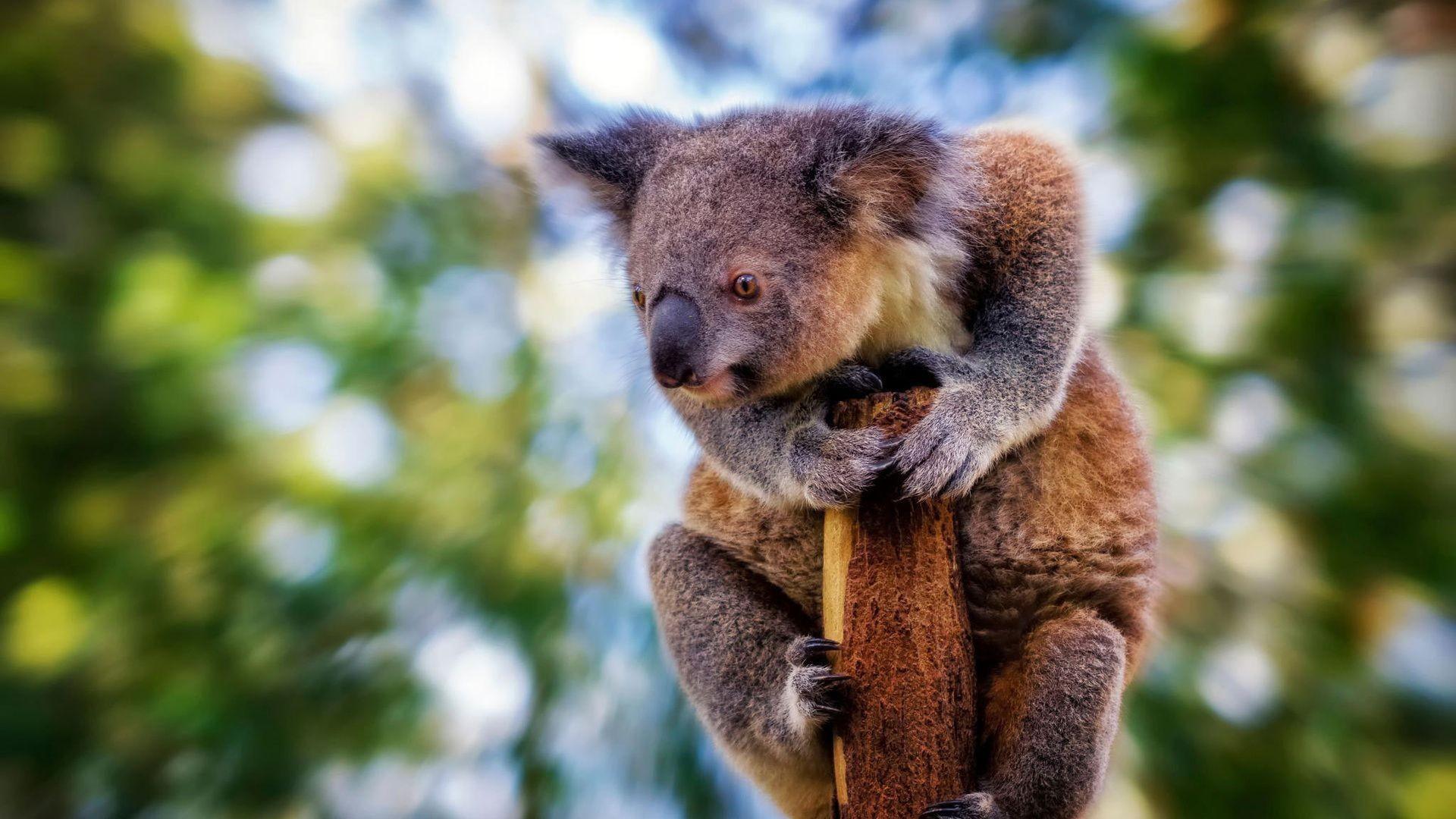 Cute Koala Hd Wallpaper Koala Wallpapers 183 ① Wallpapertag