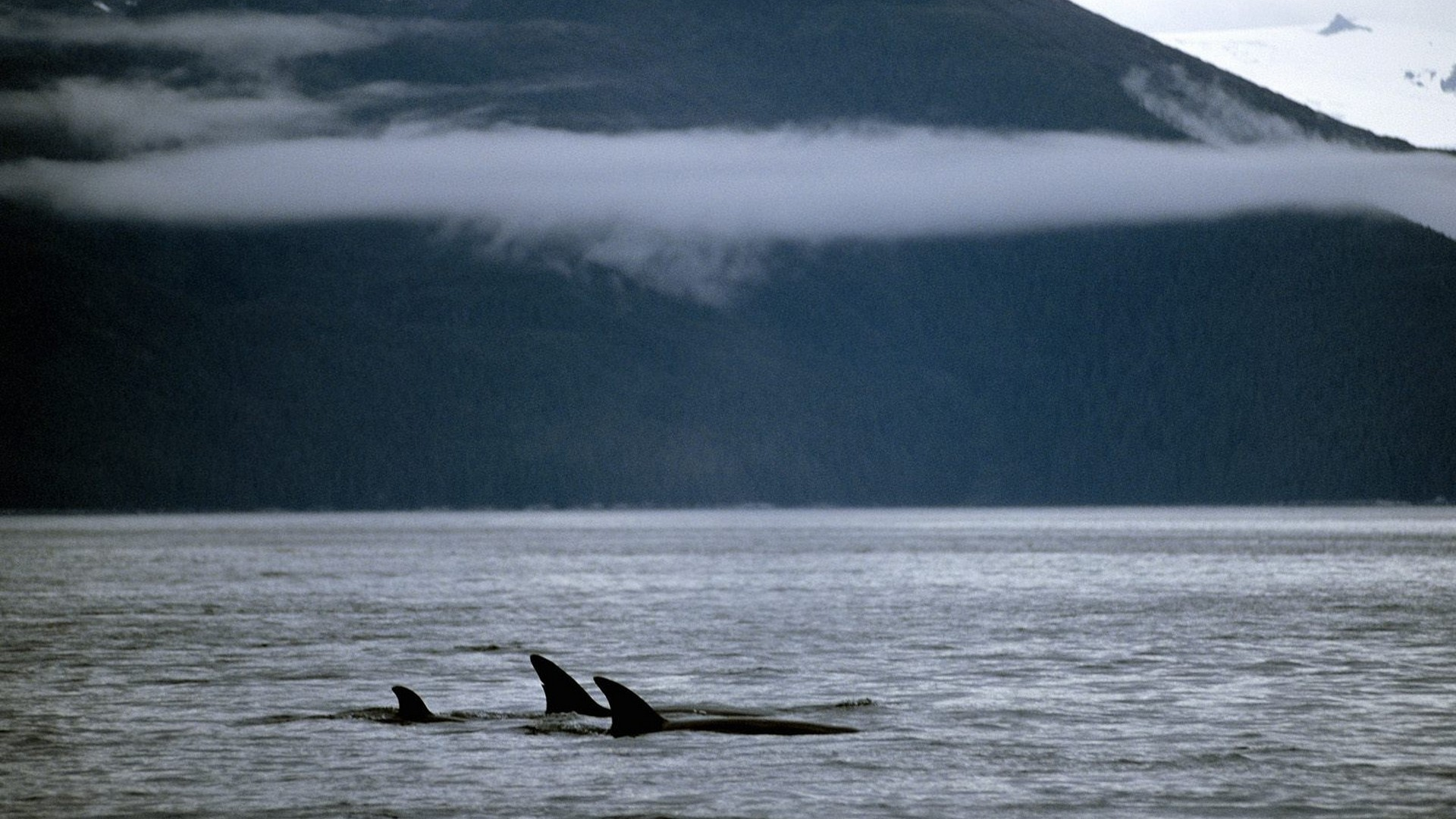 Hd Orca Wallpaper Killer Whale Wallpaper 183 ① Wallpapertag