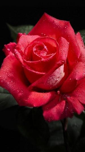 background roses rose flower bud freshness drop wallpapertag