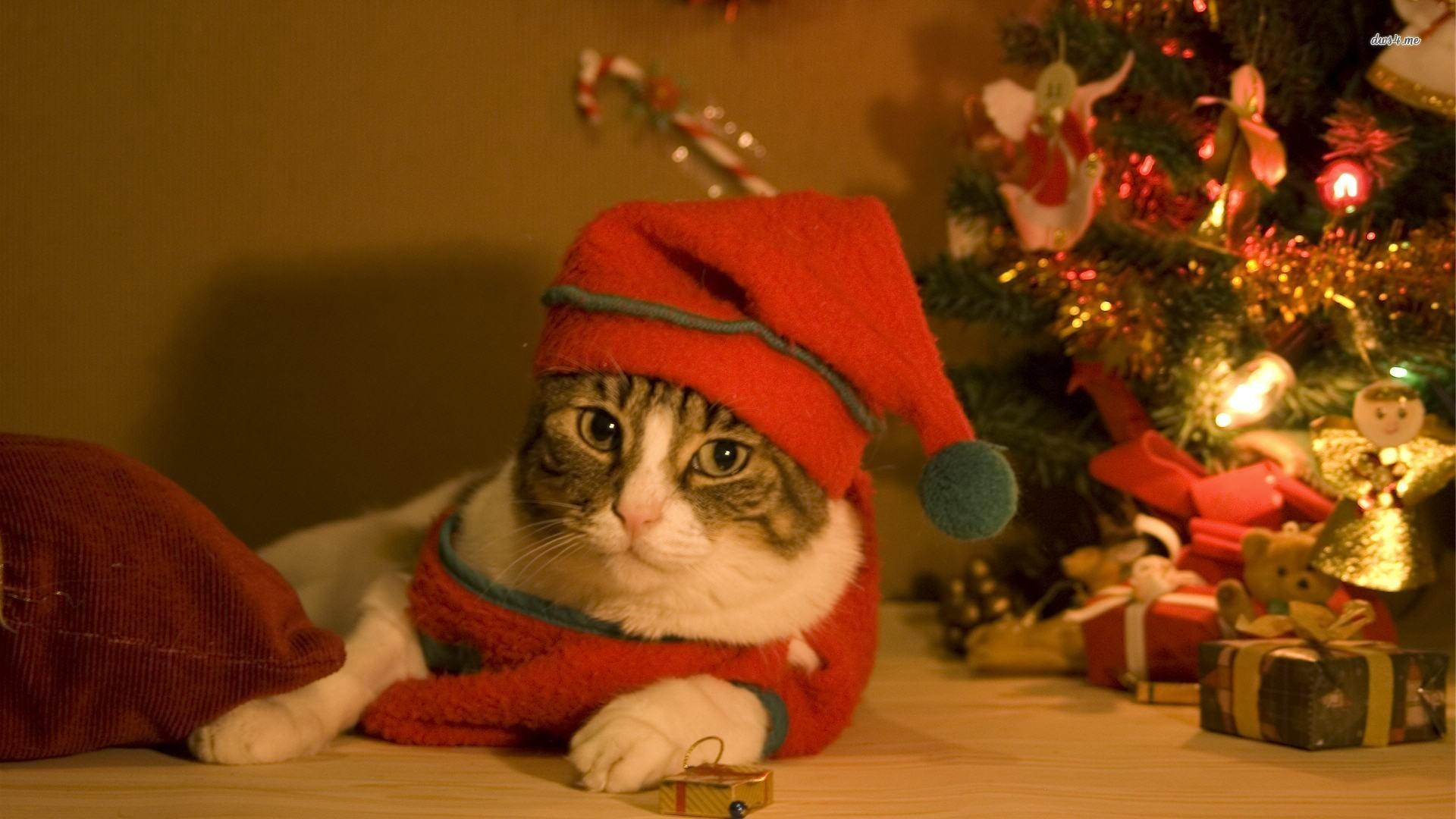 Cute Siamese Kittens Wallpaper Christmas Cat Wallpaper 183 ① Wallpapertag