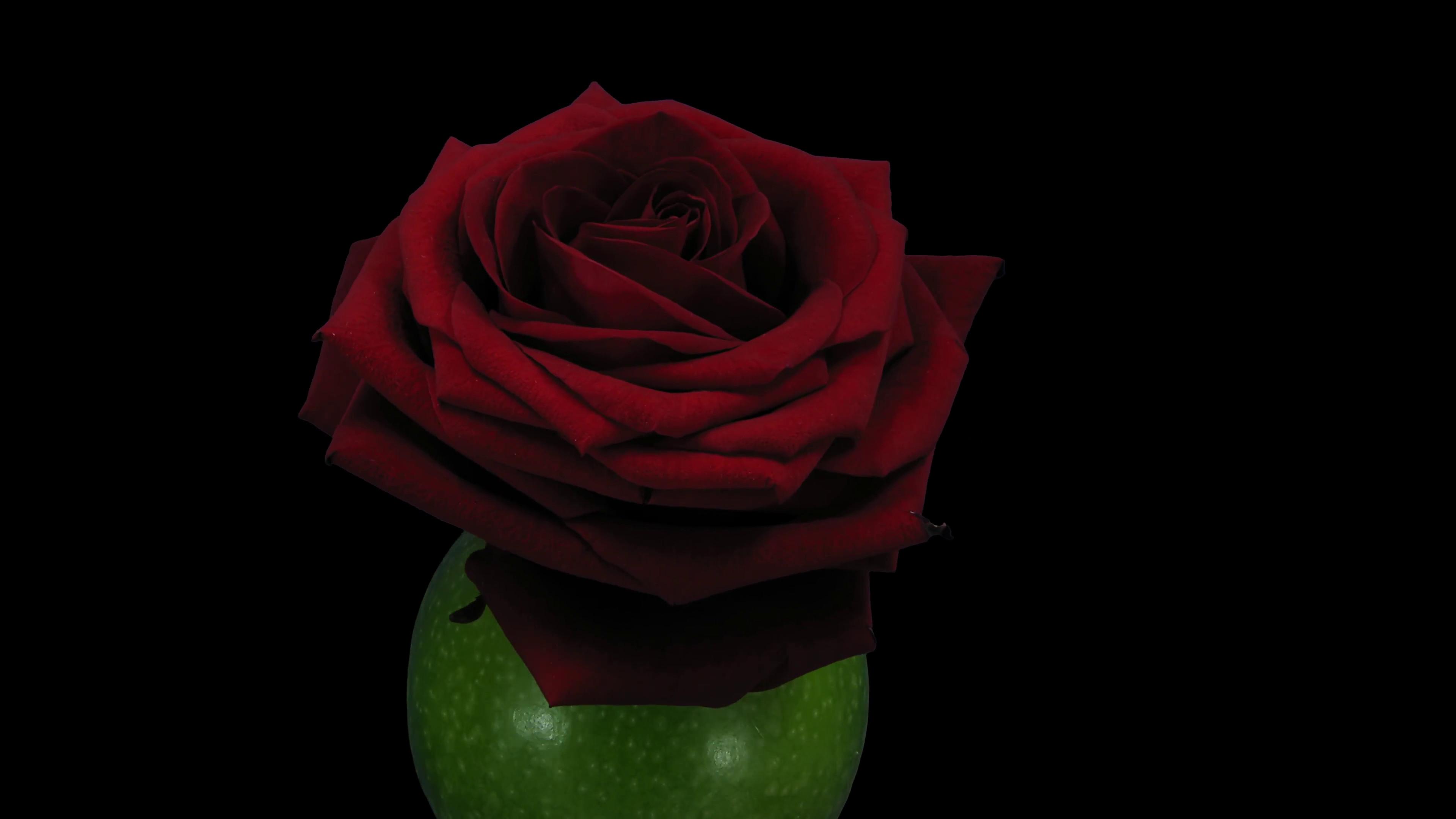 Rose Petals Falling Wallpaper Red Rose On Black Background 183 ① Wallpapertag