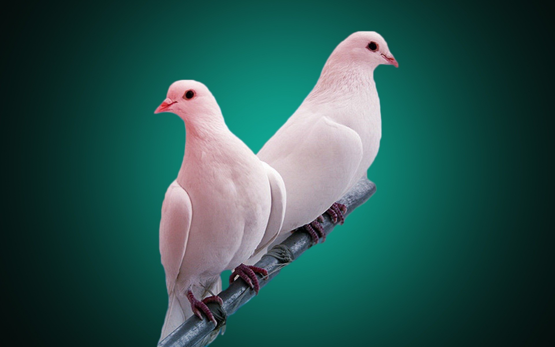 lovebird wallpaper wallpapertag