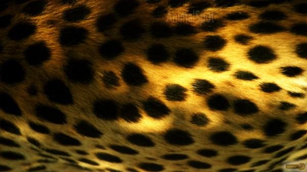 Free Cheetah Print Wallpaper