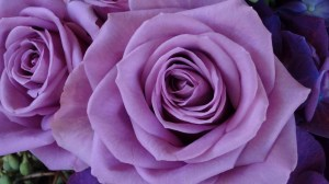 purple roses rose lavender background desktop backgrounds wallpapers flower pc mean different flowers whaat 1080 aesthetic 1920 widescreen wallpapertag macro