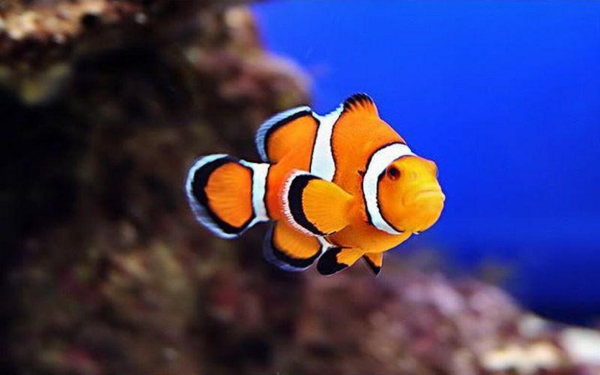 Apple Clownfish Wallpaper Iphone X Clown Fish Wallpaper 183 ① Wallpapertag