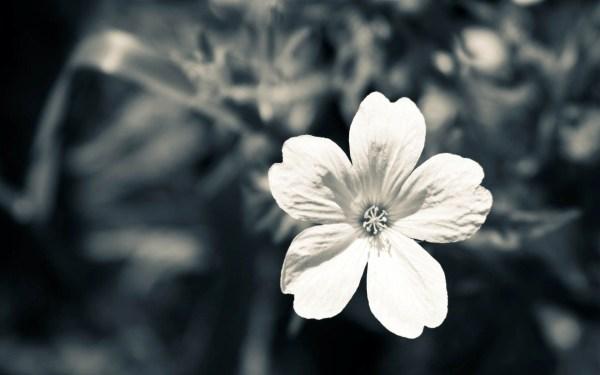 Black and White Flowers Desktop