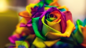 rainbow rose roses colorful flowers background wallpapers desktop closeup flower backgrounds quotes macro morning message resolution poems brought wallpapertag screen