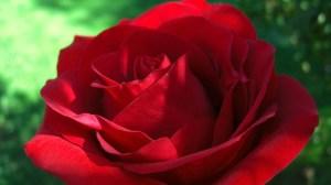 roses desktop wallpapers rose lovely wallpapertag phone backgrounds wallpapersafari cell