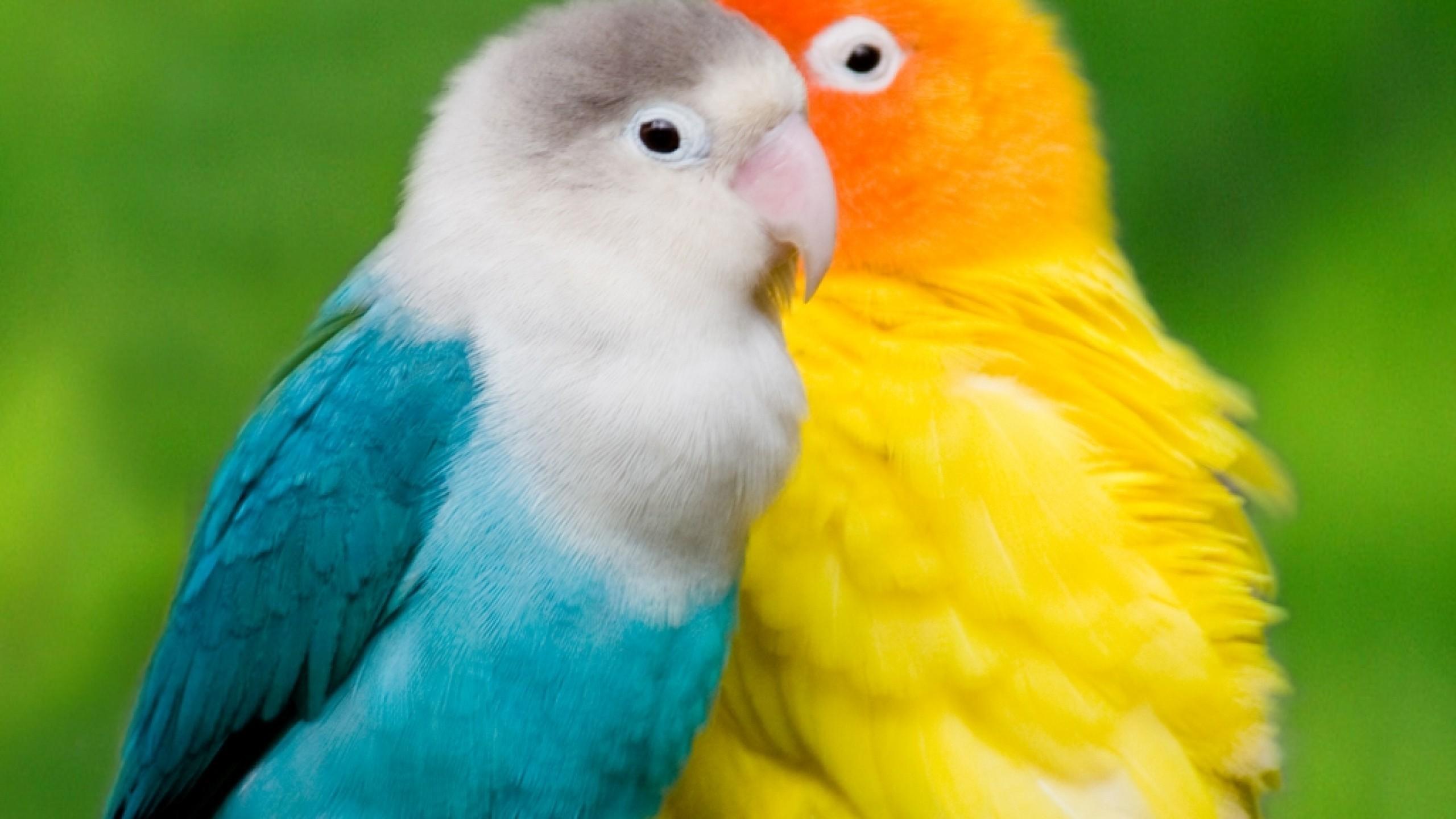 love birds wallpapers wallpapertag