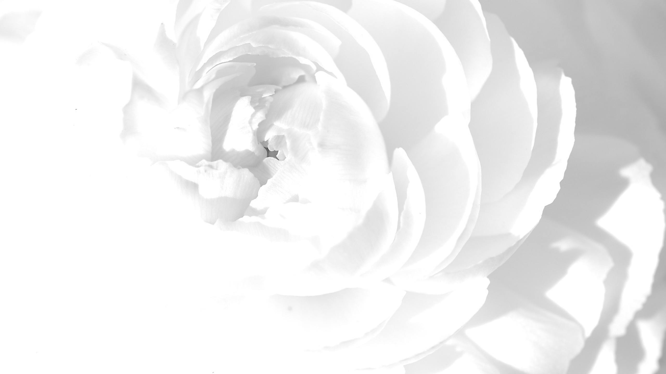 Pink Feathers Falling Wallpaper White Roses Background 183 ① Wallpapertag