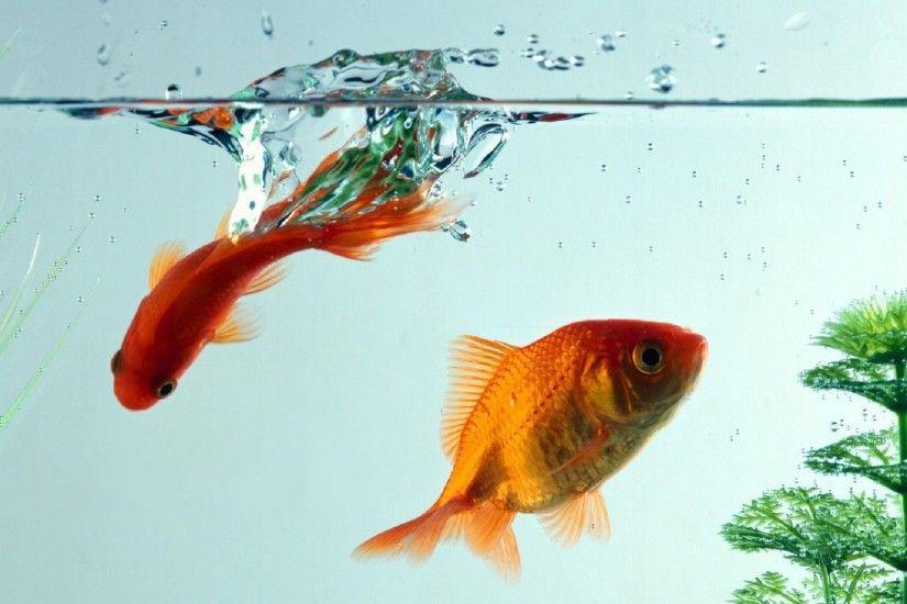 Dali Iphone Wallpaper Koi Fish Wallpapers 183 ① Wallpapertag