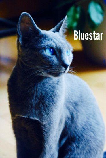 Cute Little Gray Cat For Wallpaper Warrior Cats Wallpaper Bluestar 183 ① Wallpapertag