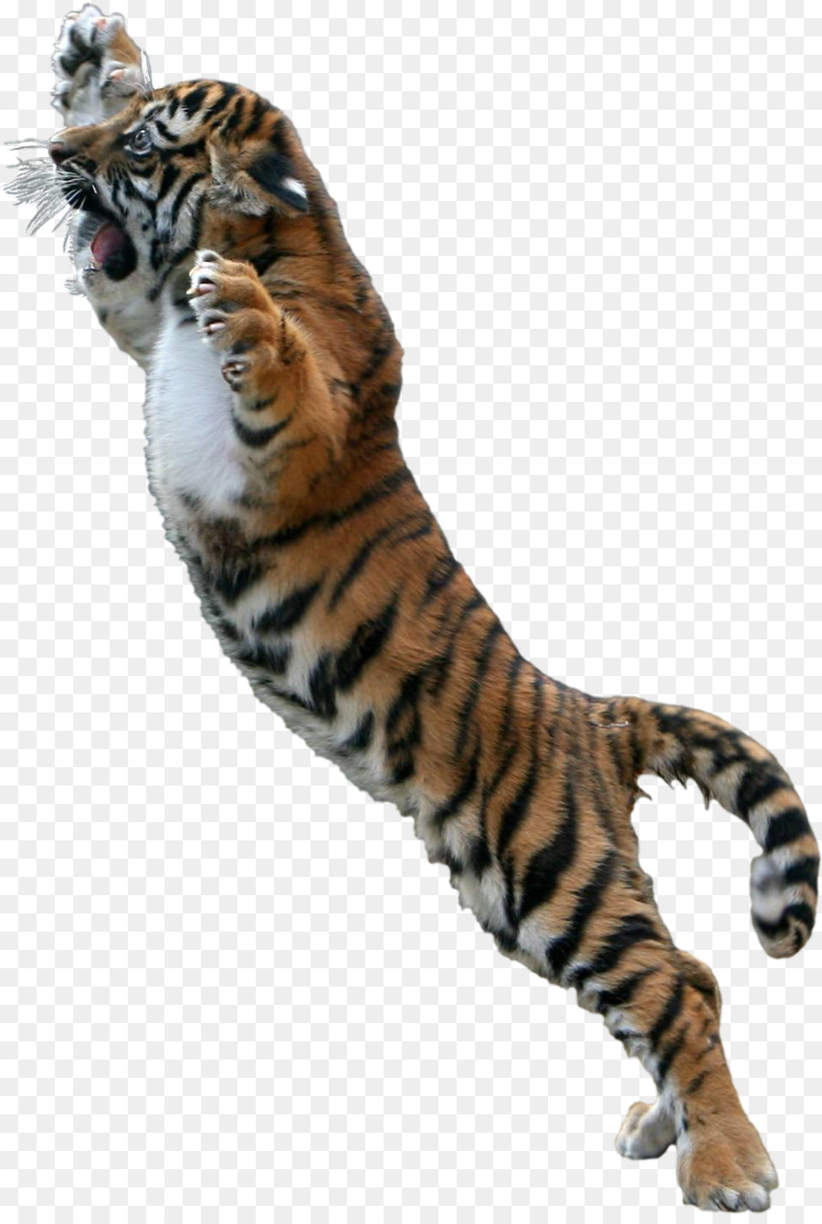 Gambar Harimau Png : gambar, harimau, Kucing,, Harimau, Putih,, Desktop, Wallpaper, Gambar, 900x1340, Download, WallpaperTip