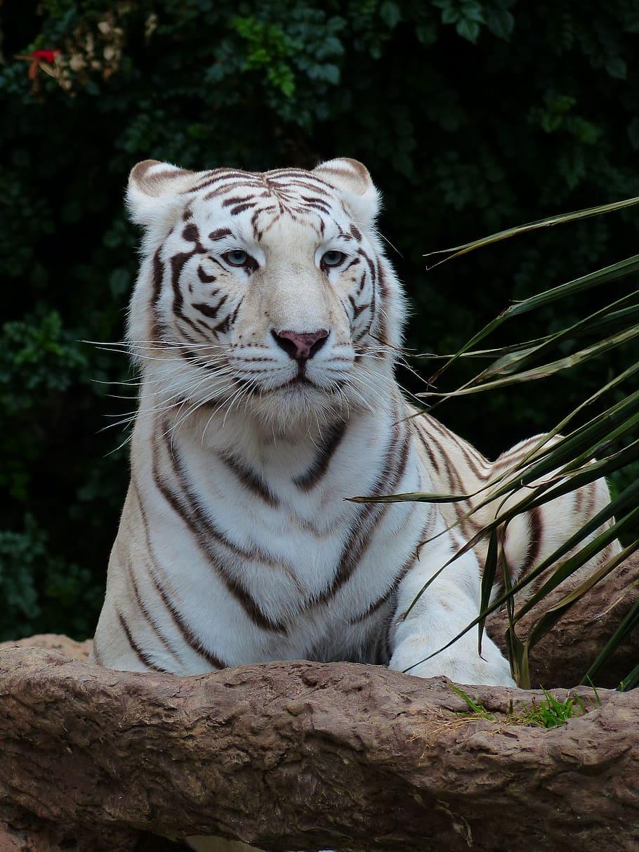 Gambar Harimau Putih : gambar, harimau, putih, Wallpaper, Macan, Putih, 910x1213, Download, WallpaperTip