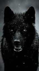 Black Wolf Wallpaper Iphone 444x794 Download HD Wallpaper WallpaperTip