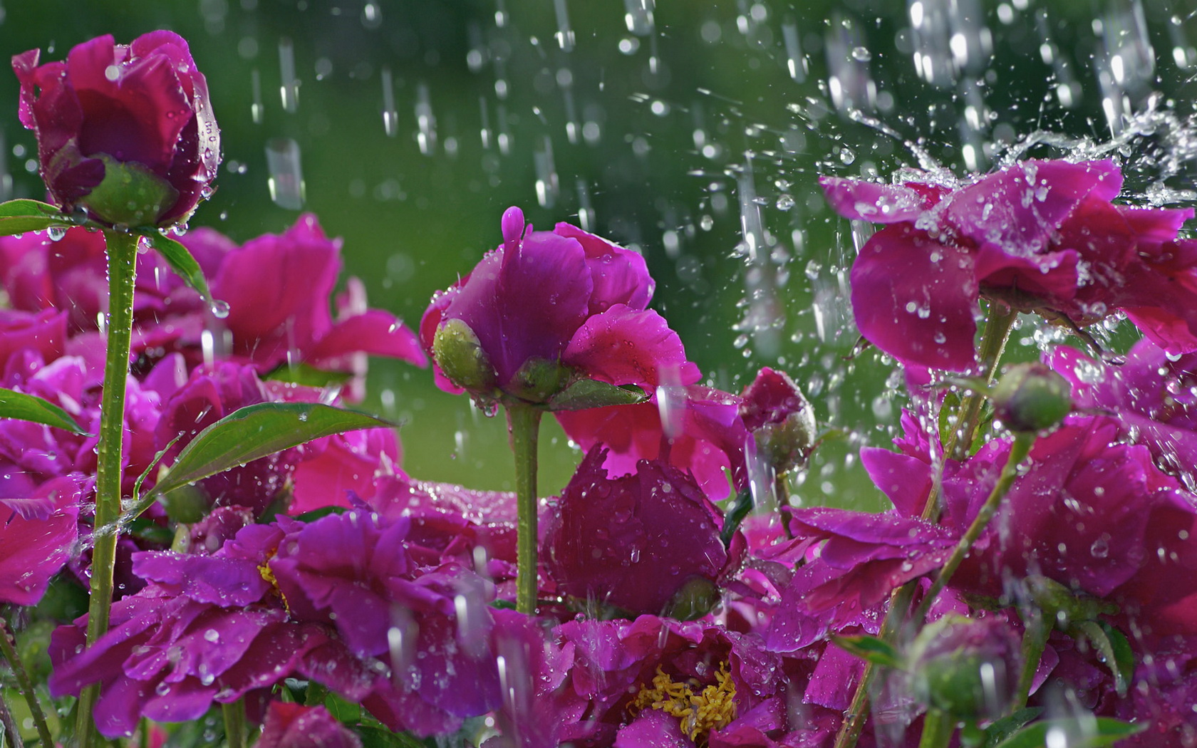 Flowers Water Drops Wallpaper  1680x1050 135619