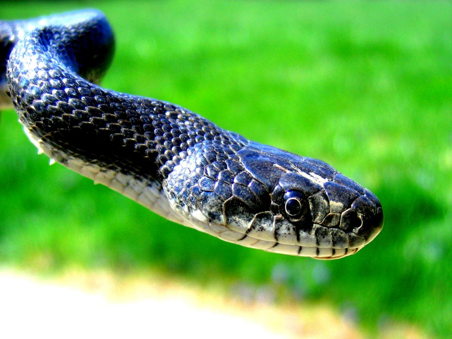 The Best Top Desktop Snake Wallpapers HD Free