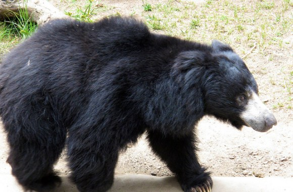 Animal Predator Sloth Bear Pictures Photos Gallery