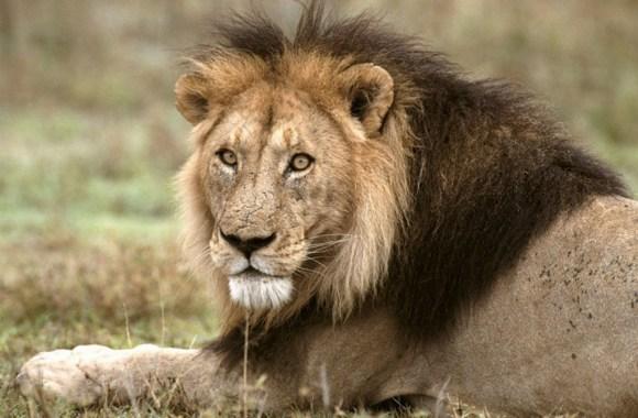 African Lion Tanzania Animal Wallpaper HD Widescreen