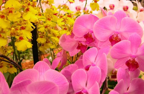 Free Download Beautiful Orchid Flowers Pictures Photos
