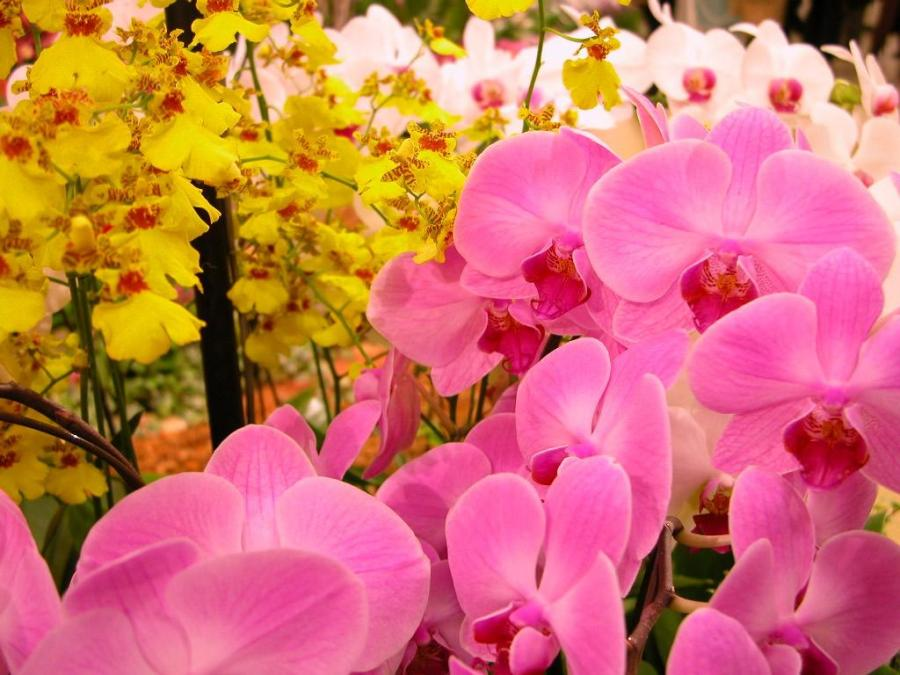 Free Download Beautiful Orchid Flowers Pictures P