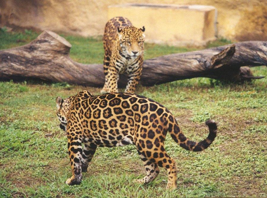 Jaguar Animal Pictures Animal Wallpapers Animal Photos