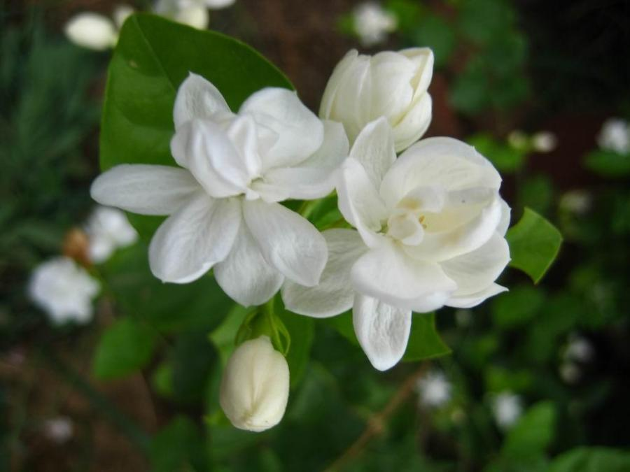 Beautiful Jasmine Flower Pictures Gallery Free Download