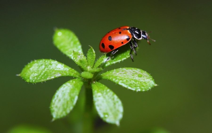 Ladybugs Macro Photography Picture HD Wallpaper Free Download