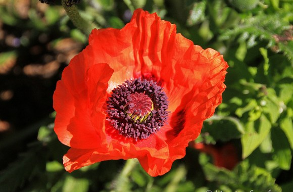 Orange Oriental Poppy Flower Photo Picture HD Wallpaper Free Download