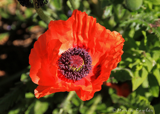 Orange Oriental Poppy Flower Photo Picture HD Wallpaper Free Download