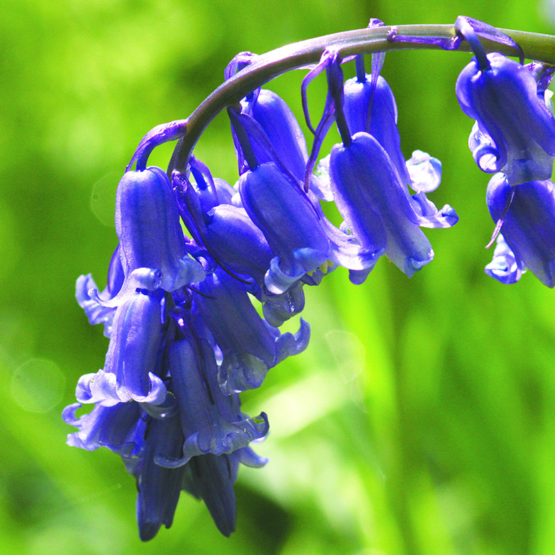 Awesome Bluebell Flowers Photo And Picture Sharing
