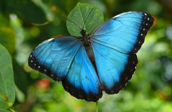 Free Download Blue Butterfly Animal Wallpaper HD Widescreen For PC Computer