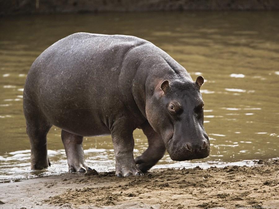Hippopotamus Semi Aquatic Mammalias Photo Picture HD Wallpaper