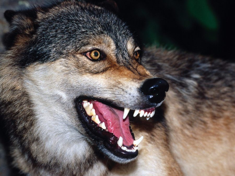 Snarling Wolf Animal Photo Picture Image HD Wallpaper Free Download