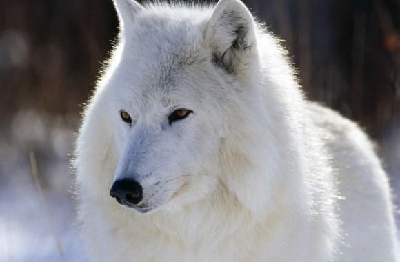 Beautiful White Wolf Animal Wallpaper HD Widescreen For PC Computer